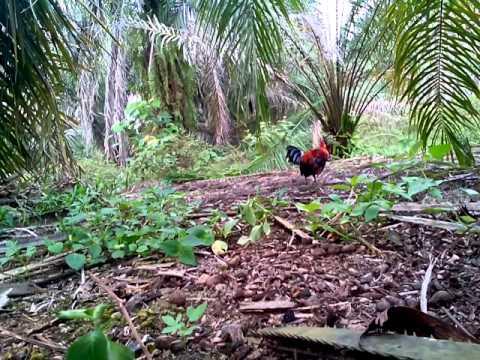 pikat ayam hutan #melati