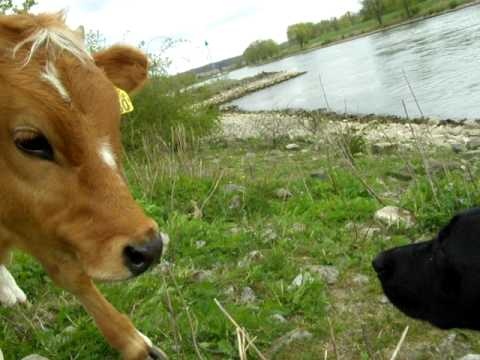 Curious young and funny cow teasing  Laika dog