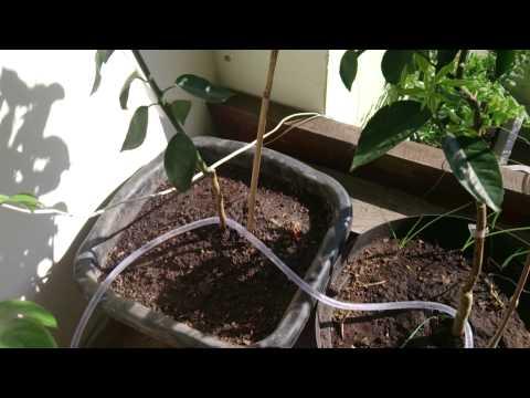 Como fazer irrigação por gotejamento.