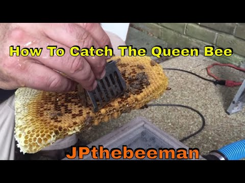 How To Catch The Queen Bee With A Queen Catcher
