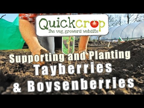 Supporting and Planting Tayberries & Boysenberries