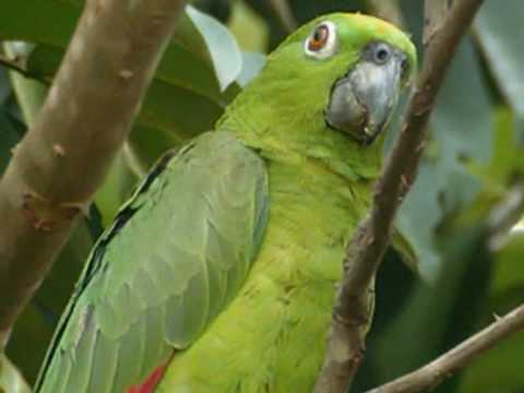 Papagaio verdadeiro (amozonas aestiva).