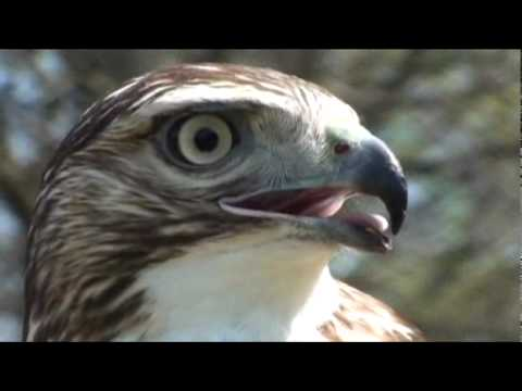 Hunting with a red tailed hawk Outdoors