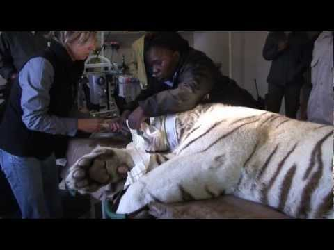 White Tiger Medical Exam