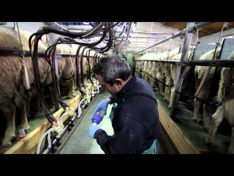 Assafe España: Asociación de criadores de ganado ovino assaf