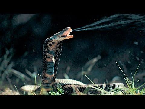 Garras y Veneno - Los Animales Mas Peligrosos del Mundo