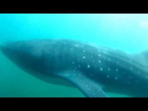 Tubarão Baleia - Nadando com o maior peixe do mundo - Viagem Mundial