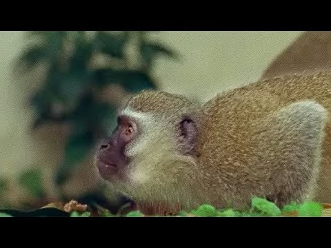 Monkey fight! - Cheeky Monkey - BBC