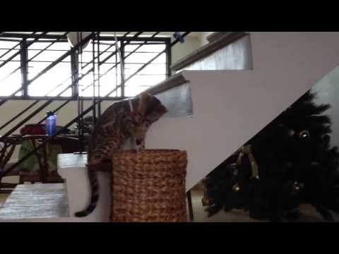 Bengal Kitten at 15 Weeks Video 2
