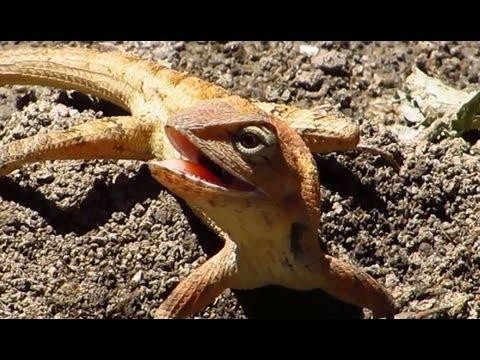 Eastern Garden lizard ~ Chiang Mai - Wildlife Thailand