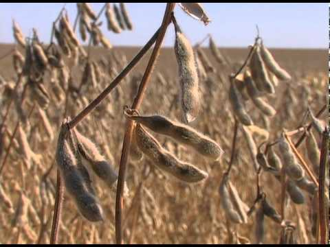 2011 Soybean Harvest in Mahaska County Iowa
