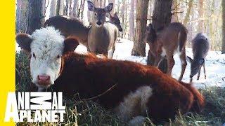 Animal Bites With Dave Salmoni: Bonnie The Runaway Calf - ANIMALPLANETTV