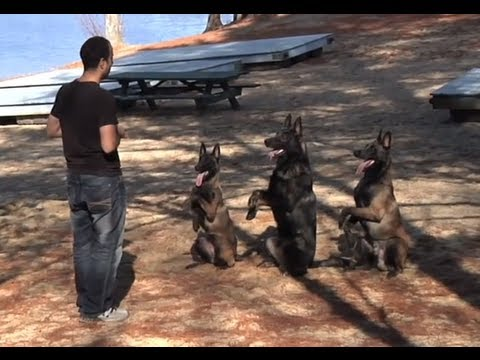Protection Dogs Plus: Three Dogs Doing Tricks in Sync!