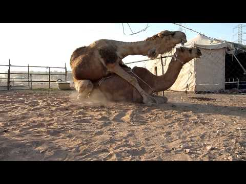 Camels mating