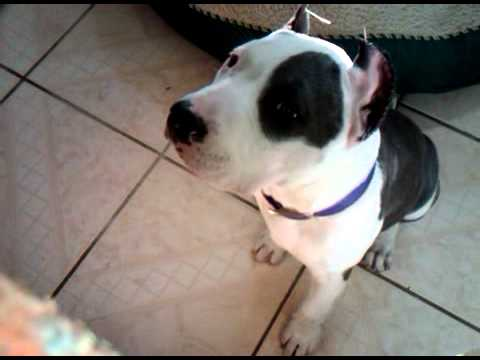pitbull blue nose ear crop (Roxy)