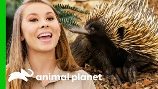 Bindi Releases Little Grub The Echidna Back Into The Wild! | Crikey! It's The Irwins - ANIMALPLANETTV