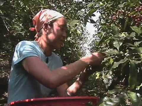 KNOW YOUR STUFF! - Picking coffee for a living (8/16)