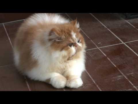 Kucing Persia Lucu Banget