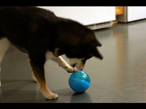 Shiba Inu Saki: Dog Toys - IQ Treat Ball