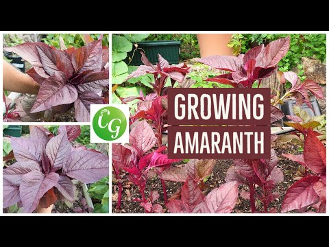 How To Grow Red Amaranth - A Nutrition Powerhouse Superfood