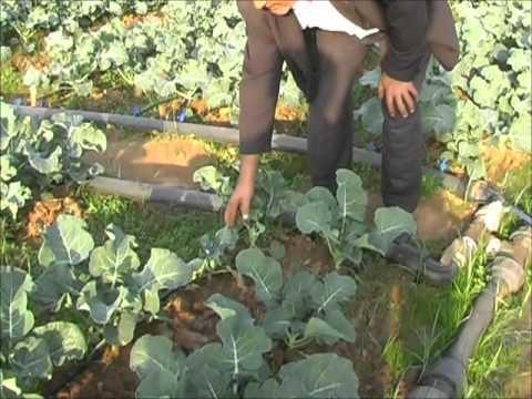 Brokoli tarlasında Maximus Sıvı Organik Gübre