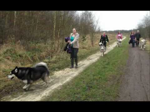 Alaskan Malamute Rescue uk (AMCUK) The crew spends the day walking