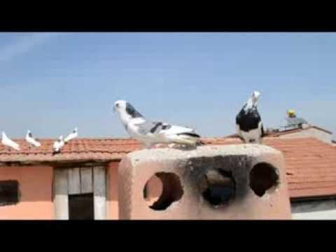 Denizli Dolapçı güvercinleri  - Musa Gümüş