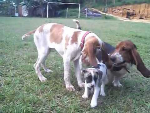 BRACCO ITALIANO - (Raça eleita o cão mais belo do mundo - FCI / 2009) - Cães de caça esportiva