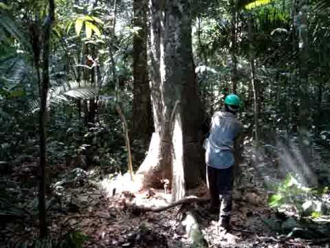 Cutting a tropical tree, rain forest