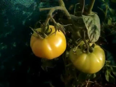 Tomato in pots on terrace - good yield - afftected with powdery mildew