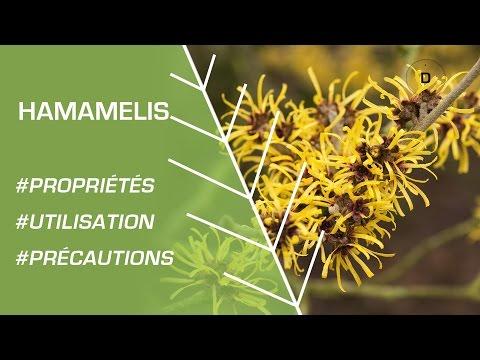 Comment utiliser l'hamamélis ? Phytothérapie