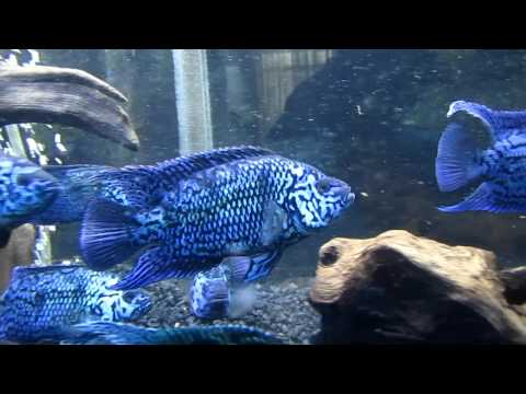ELECTRIC BLUE JACK DEMPSEY CICHLIDS (sea of blue)