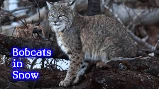 Royalty FreeBackground:Bobcats in Snow