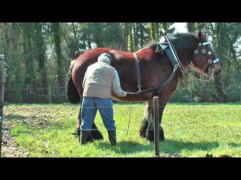 Belgian Draft Horse at work