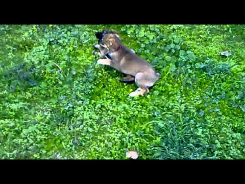 Mixed Shepherd Boxer puppies 9 weeks old play wrestling
