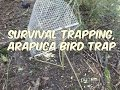 Arapuca Bird Trap (real trapping)