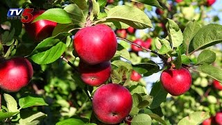 Apples Made in Vizag | Apple cultivation in AP : TV5 News - TV5NEWSCHANNEL