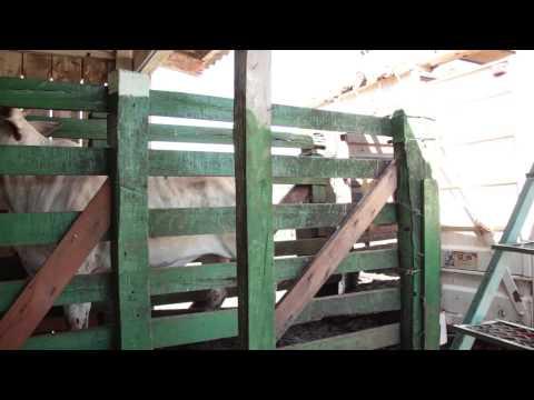 Inspeção Ante Mortem de Bovinos destinados ao abate