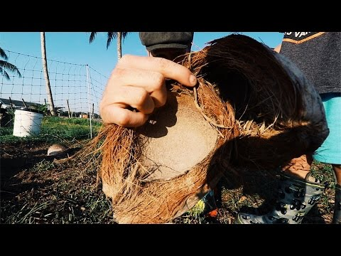 Turning Rotten Coconut Into FRESH Eggs