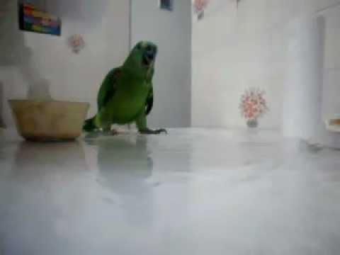papagaio verdadeiro!!! aprenda a alimentar seu filhote.