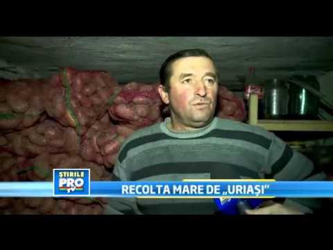 Recolta mare de cartofi uriasi  Cei mai mari cartofi se gasesc in comuna Rasca