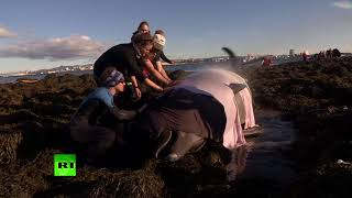 Dramatic rescue: Icelanders free beached bottlenose whale - RUSSIATODAY