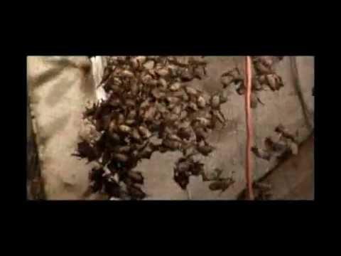 Billy El Exterminador - Trampa para murciélagos