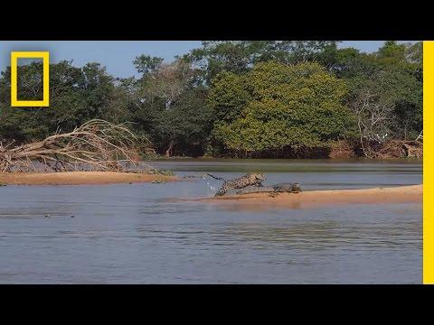 Filman un feroz ataque de un jaguar a un cocodrilo