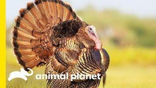 Turkey Talk with Dave Salmoni - ANIMALPLANETTV