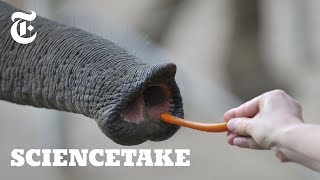 Inside the Nose of an Elephant | ScienceTake - THENEWYORKTIMES
