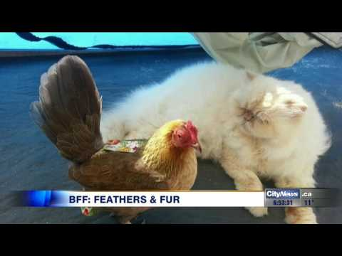 Cat and chicken strike up unlikely friendship