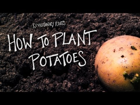 How to Plant Potatoes - Farming/Gardening Lesson - Revolutionary Roots