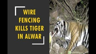 Tiger dies due to strangling in wire fence - ZEENEWS