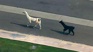 Llamas Make a Dash for Freedom - WSJDIGITALNETWORK